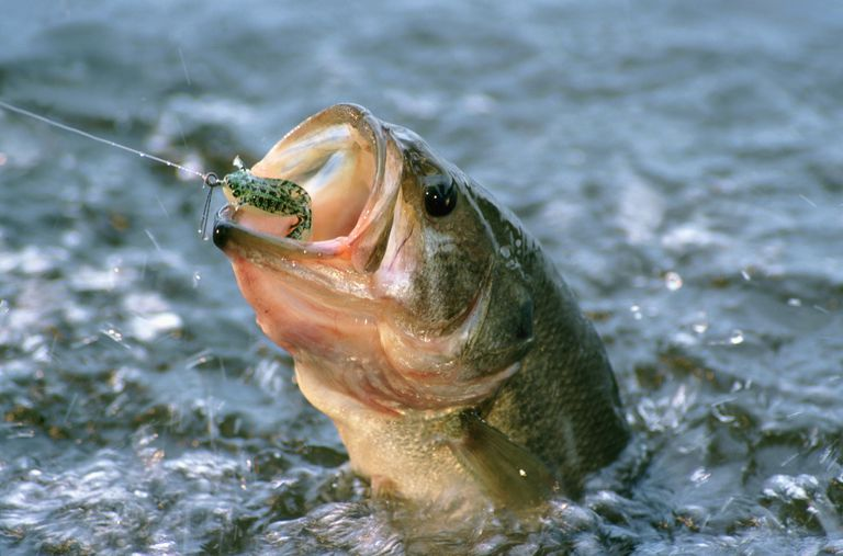 Largemouth Bass in water