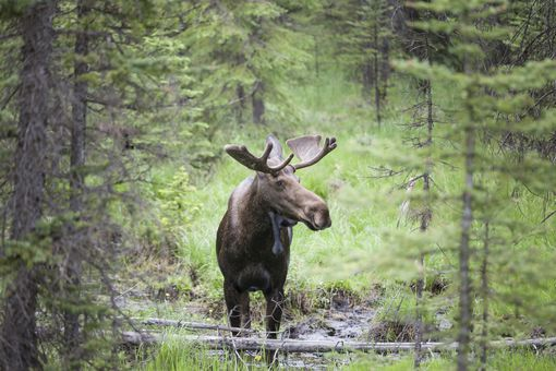 Bull Moose,Alces alces with velvet antlers in Peter Lougheed Provincial Park, Alberta, Canada
