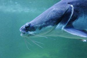 Gafftopsail Catfish