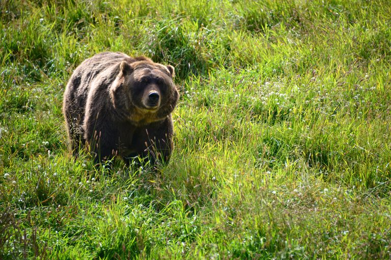 Grizzly bear in wilderness, Anchorage, Alaska