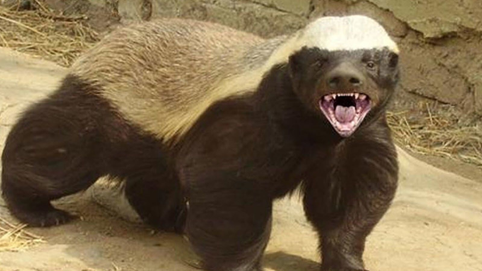 Randall the Honey Badger animal narrator, who became a viral meme