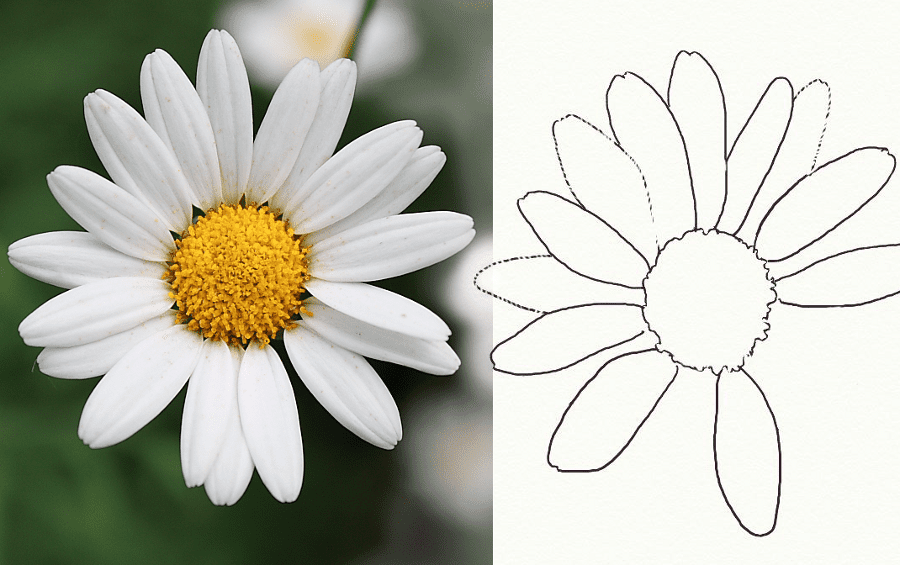Photograph of a real daisy left, sketch drawing of a daisy outline right.