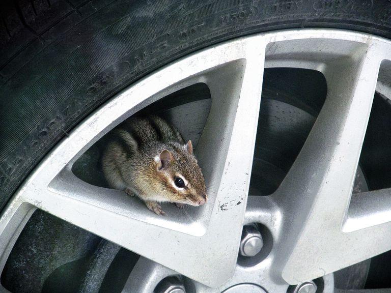 Squirrel On Car Alloy Rim