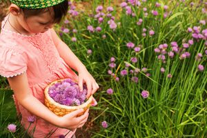 Girl picking chive blossoms