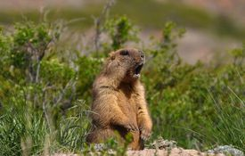 Groundhog sitting up with its mouth open, grass and shrubs in the background