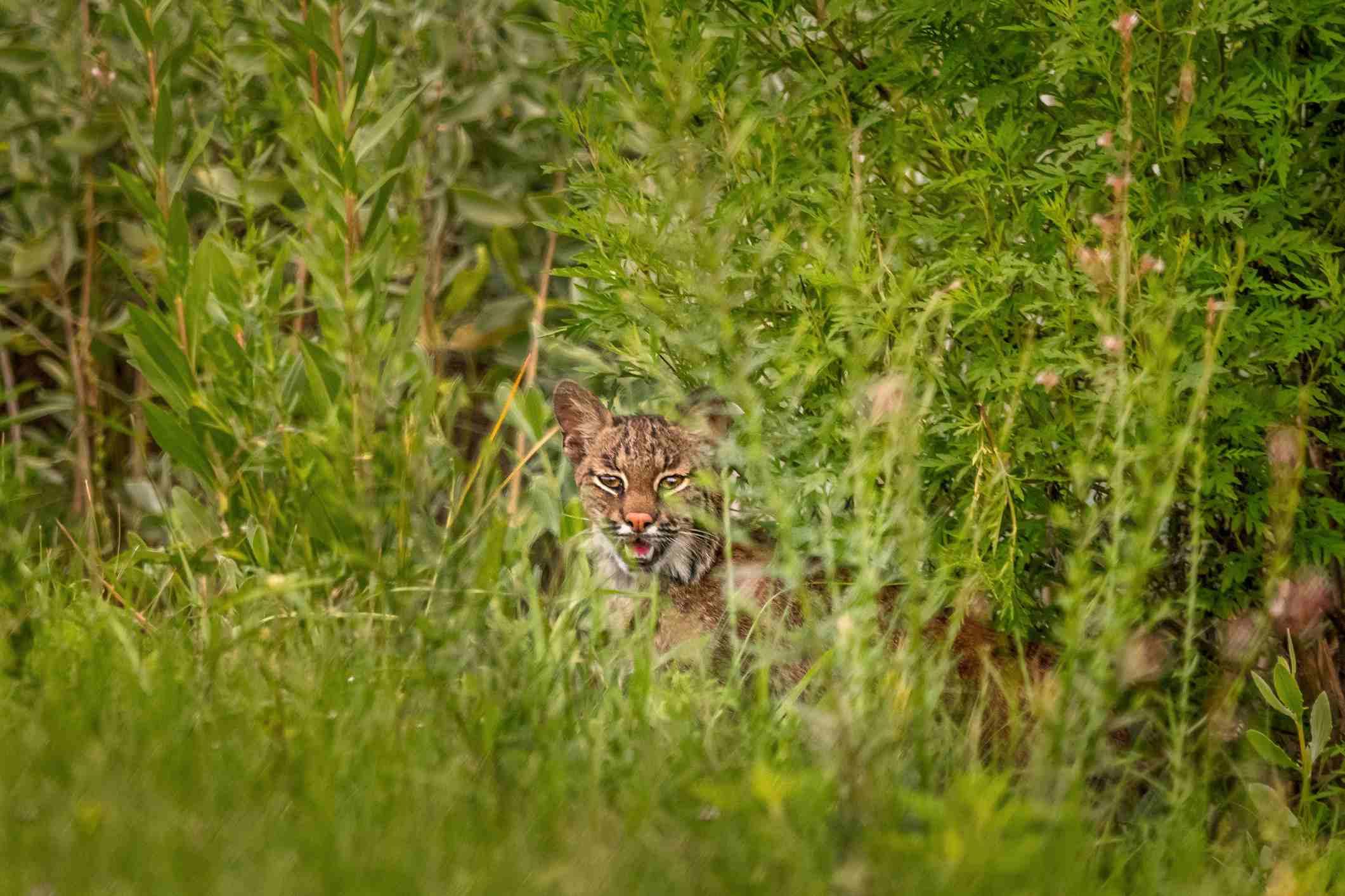 Perhaps the Primehook creature was an unfamiliar or unusual species of wild cat.