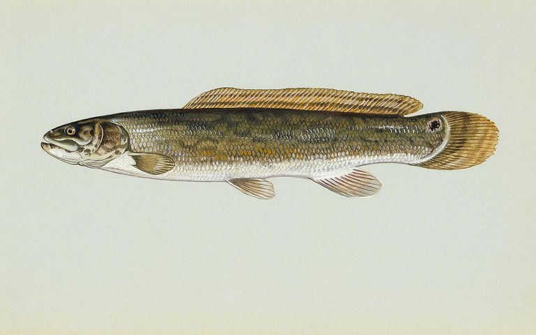 bowfin illustration