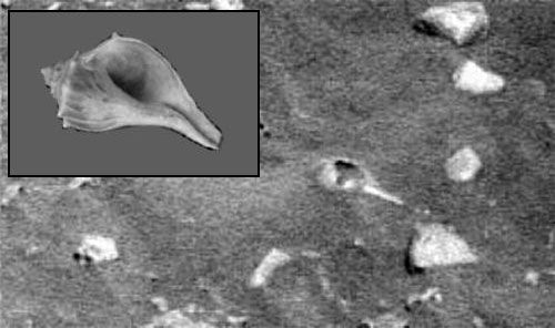 Mars Seashell