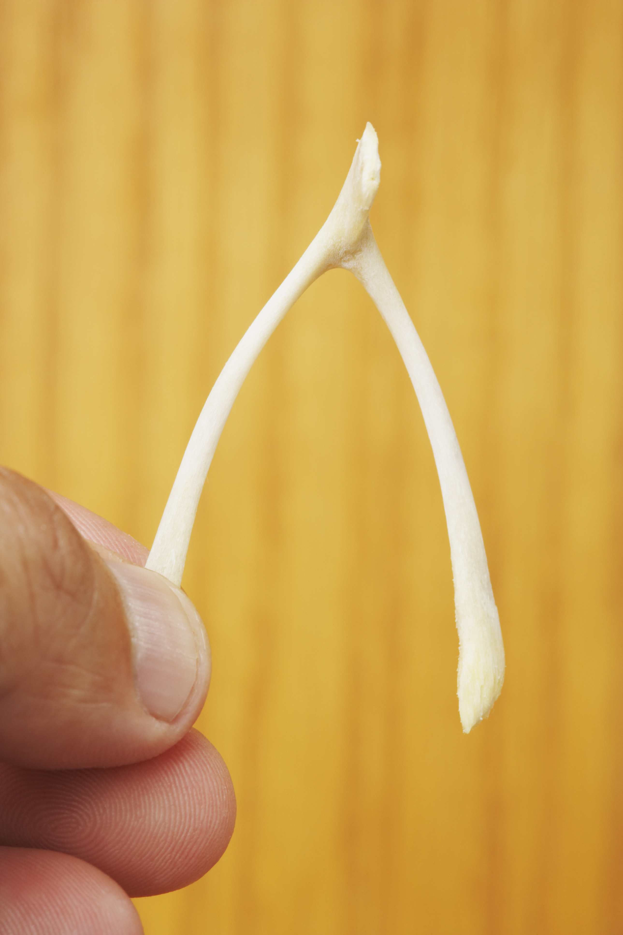 Image of a wishbone about to be broken.