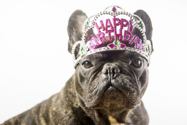 French Bulldog wearing happy birthday crown
