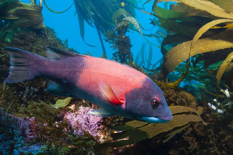 California Sheephead Wrasse