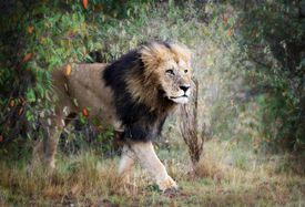 Male Lion Walking Against Bush in Masai Mara, Kenya