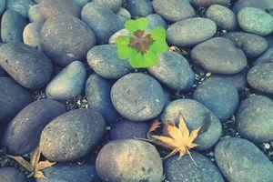 Clover Growing Between Stones