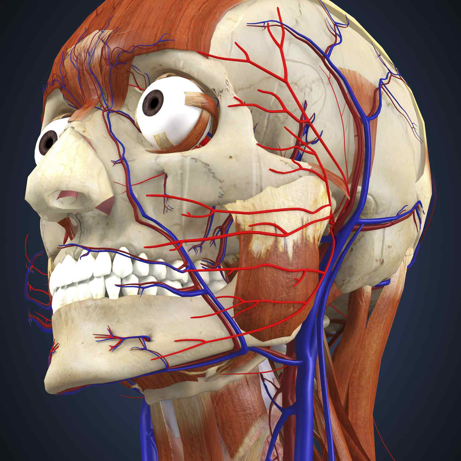 Human head with bone, muscles and circulatory system.