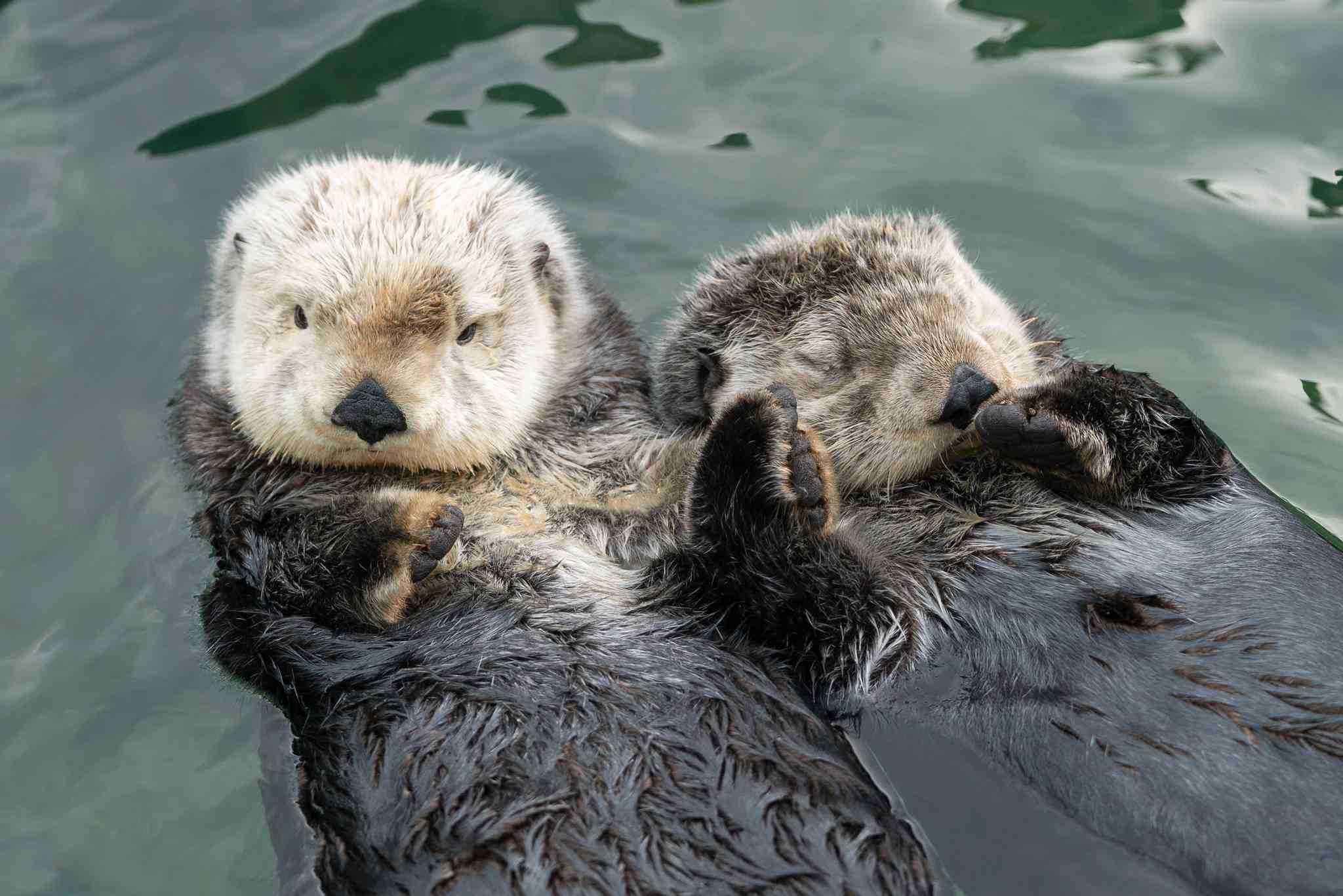 Screenshot of otters holding hands from viral video