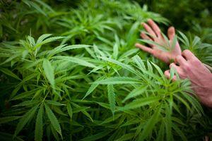 hands and a large marijuana plant