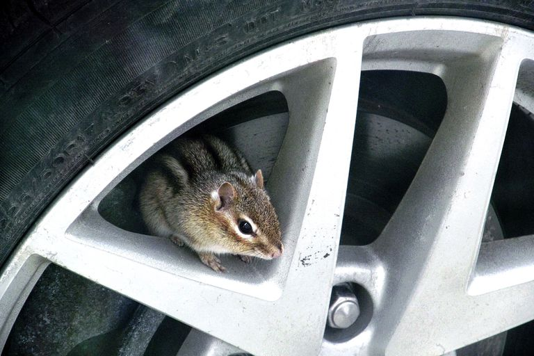 A chipmunk on an alloy rim of a car tire