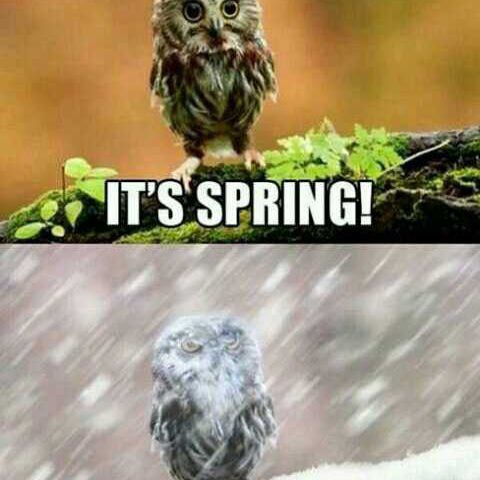 Spring snow owl