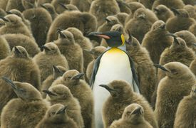 King Penguin with chicks