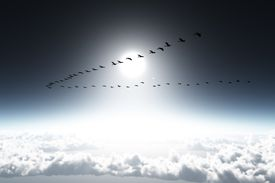 A flock of geese flying in formation