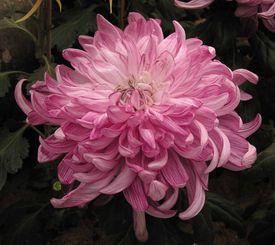 Chrysanthemum morifolium 'Healthy'