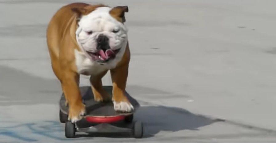 Tillman the skateboarding bulldog from viral video