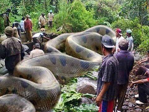 Is This Anaconda the World's Biggest Snake?