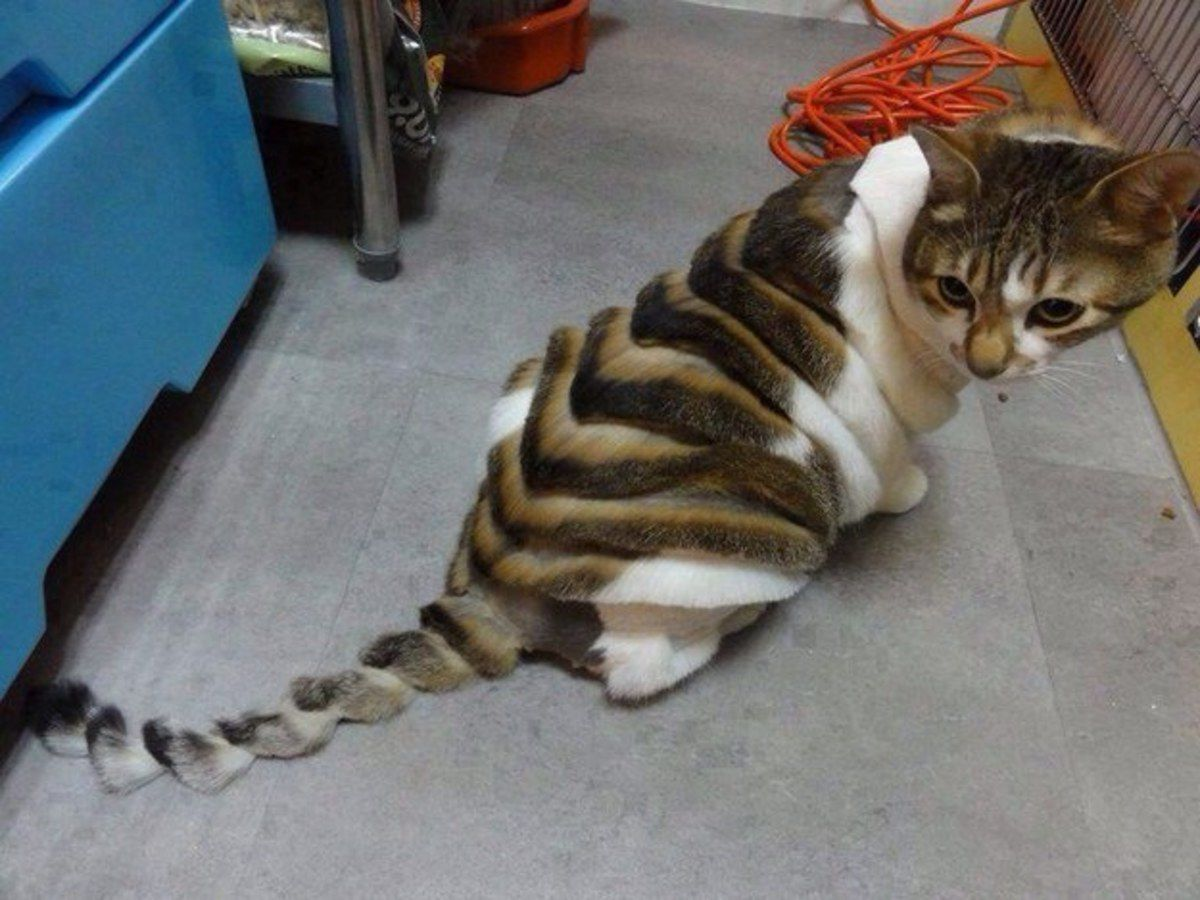 Cat with stripes shaved into its fur