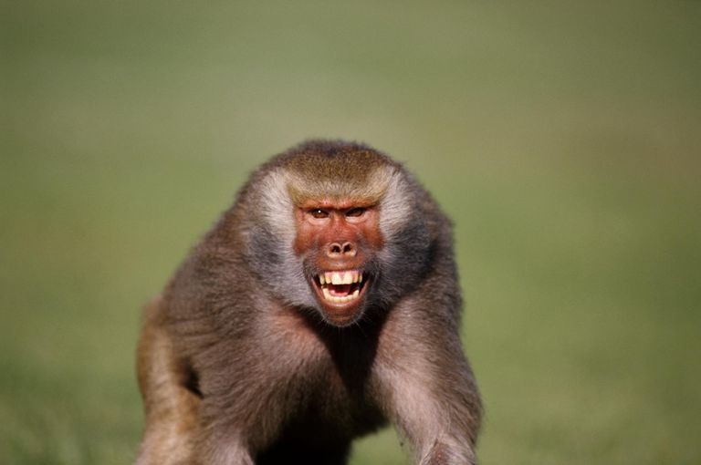 Hamadryas baboon (Papio hamadryas) snarling, close-up