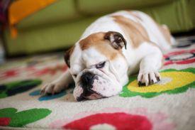 English bulldog asleep on the carpet