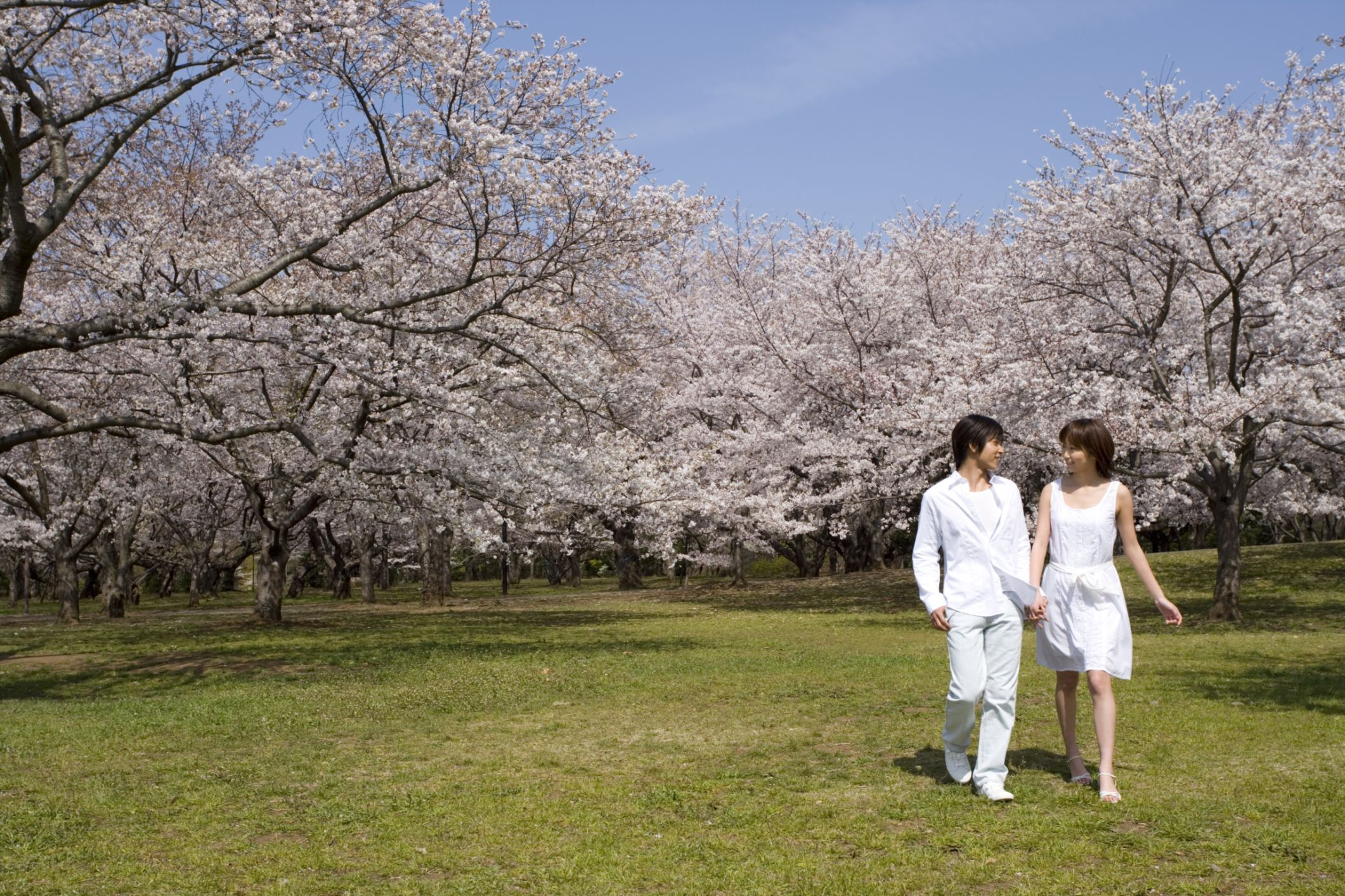 Man and woman walking through cherry blossoms.