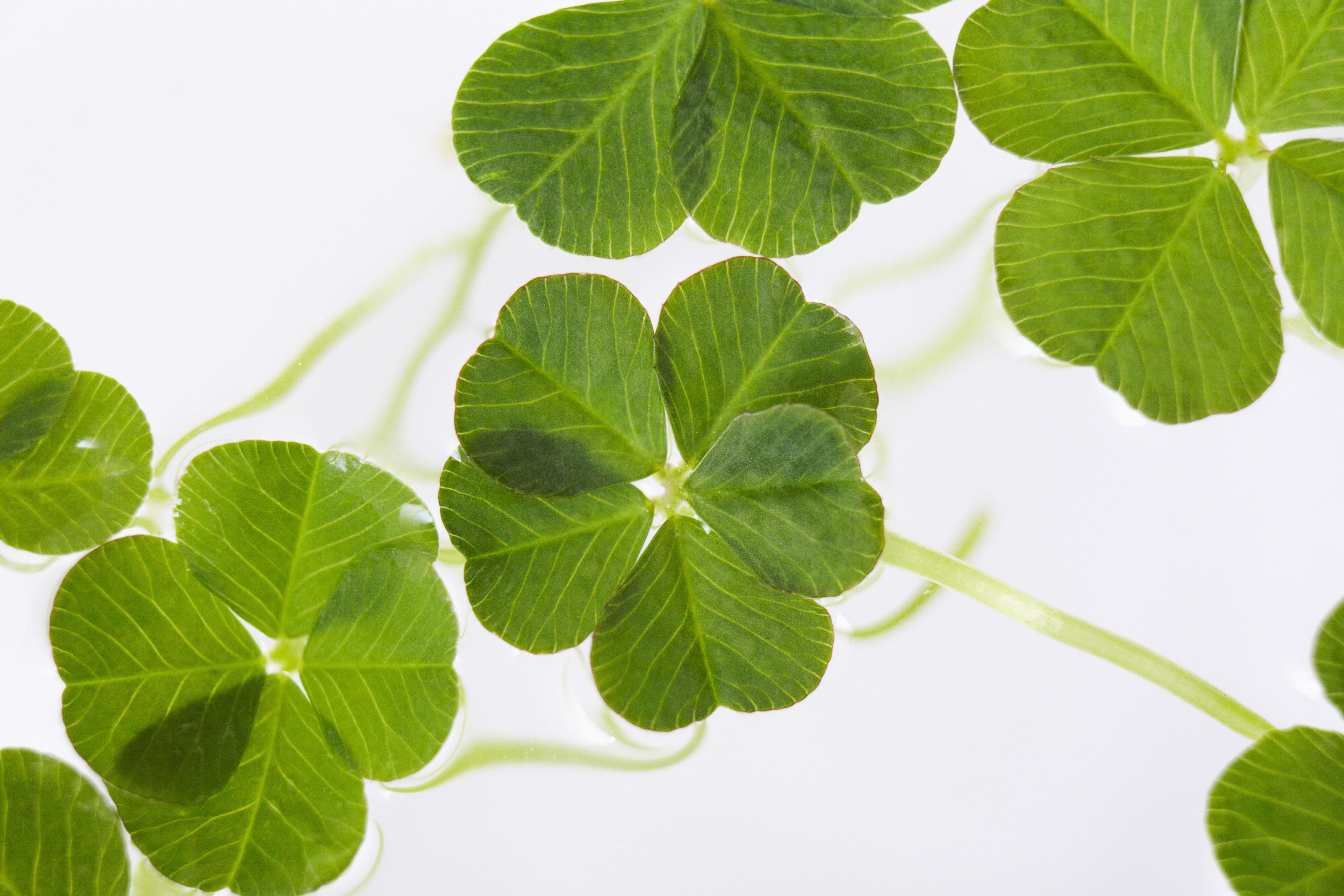 Group of Lucky Clovers