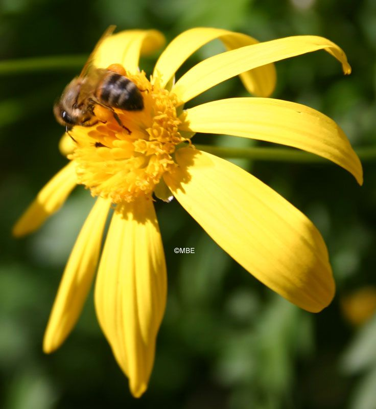 Reference Photographs for Artists : Bee on Flower