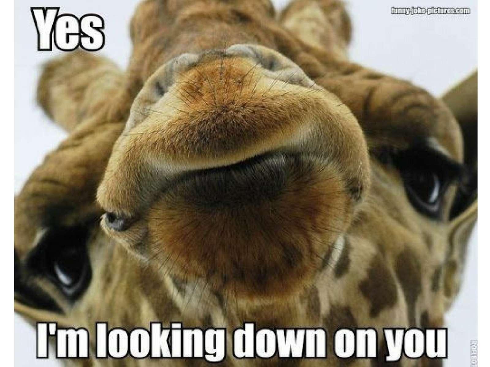 Giraffe Meme
