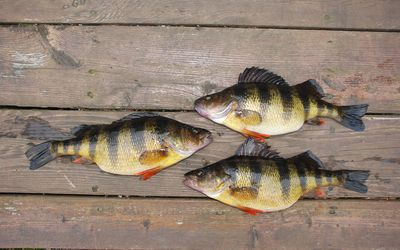 What Are the Best-Tasting Freshwater Fish?