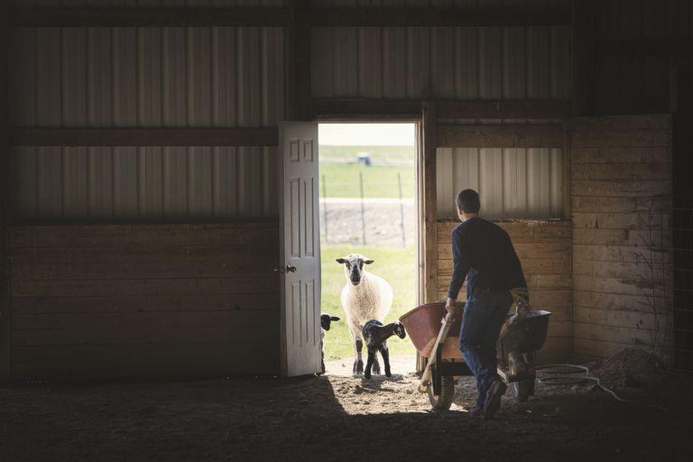 Mixed race boy pushing wheelbarrow to sheep in barn