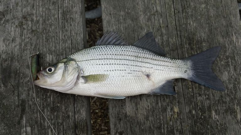 Fishing For White Bass In Lakes