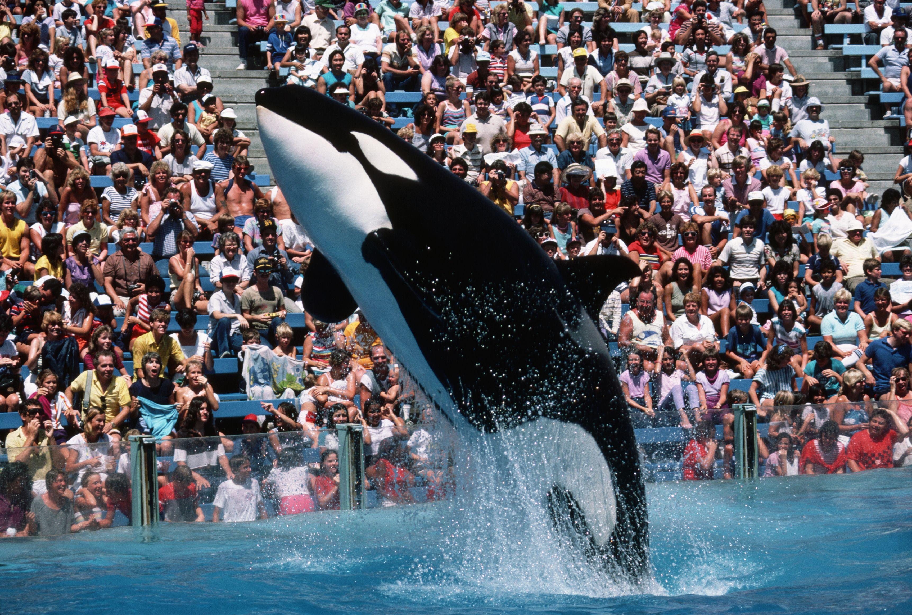 Killer Whale Shamu Leaps at SeaWorld