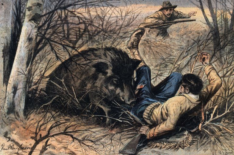 Wild boar attack on a hunter, in the Landes region, in France. Illustration from French newspaper Le Petit Parisien, 1908