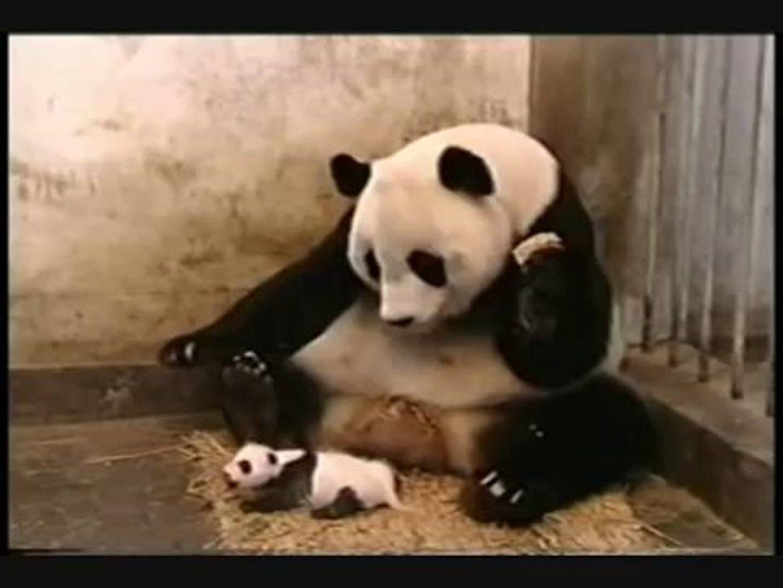 Screenshot of sneezing baby panda viral video