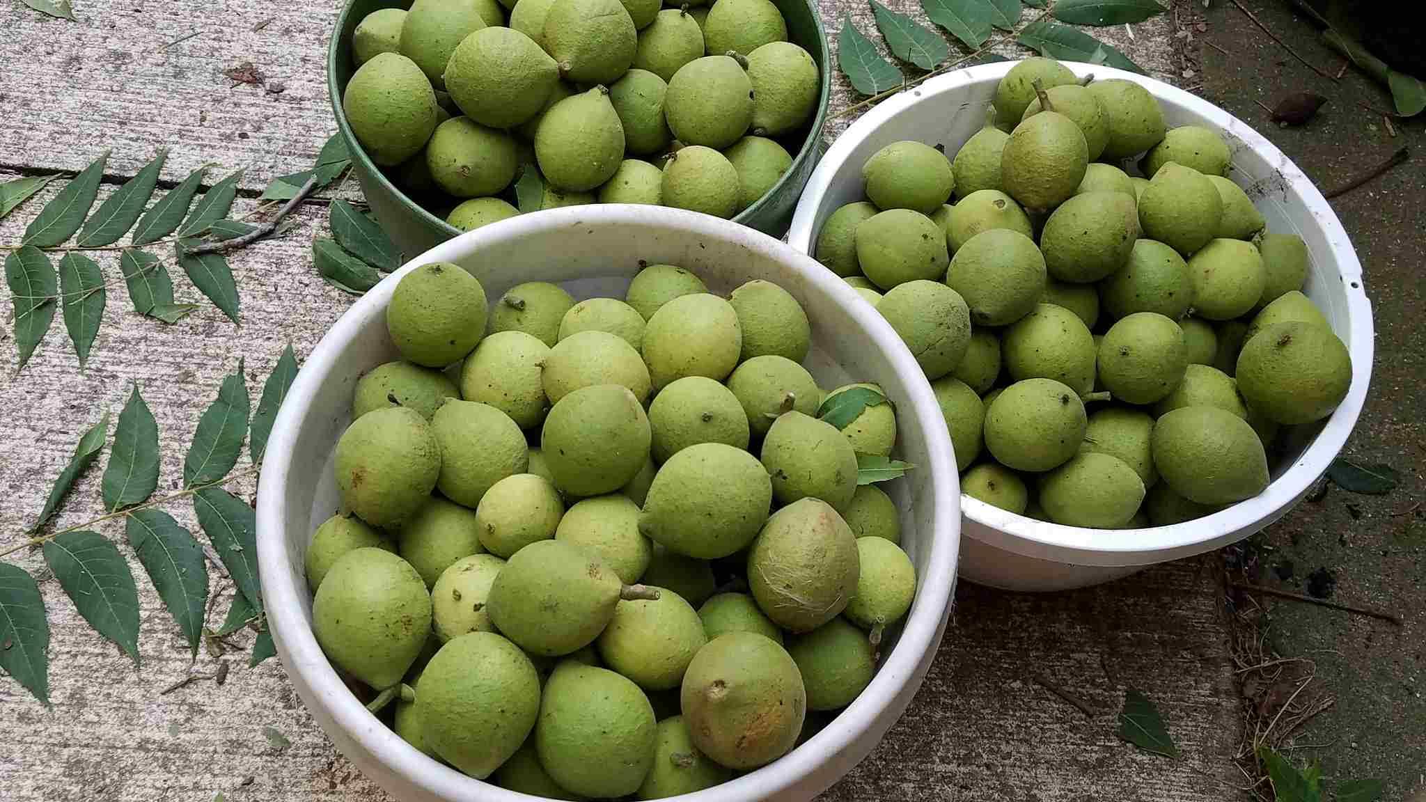 Black walnuts, green