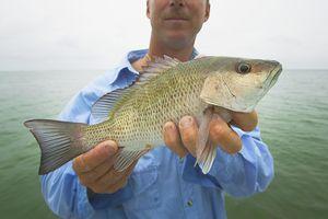 Man holding fresh caught mangrove snapper