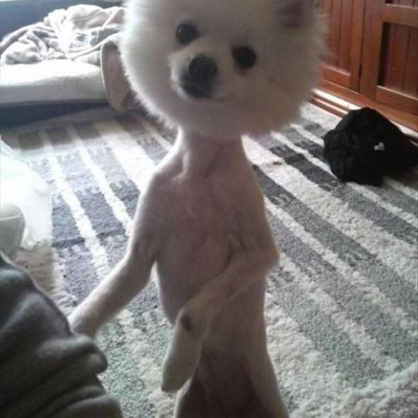 Dog with shaved haircut