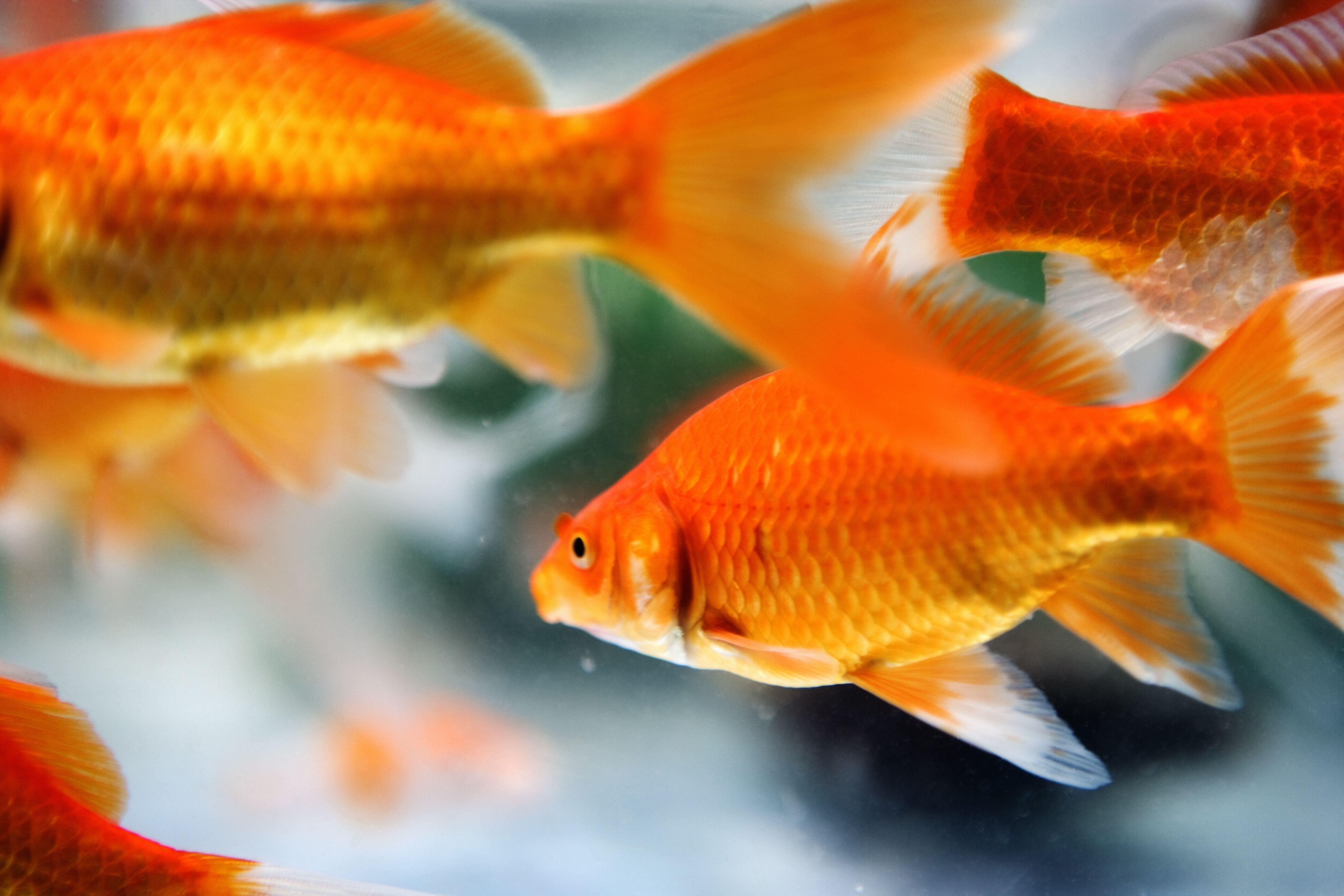 Goldfish swimming in an aquarium.