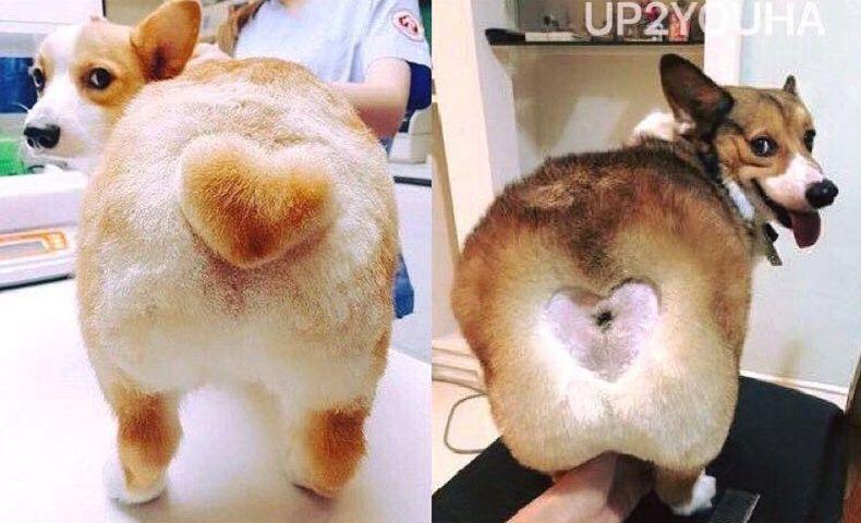 Corgi heart butt fail