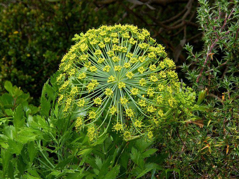Galbanum plant