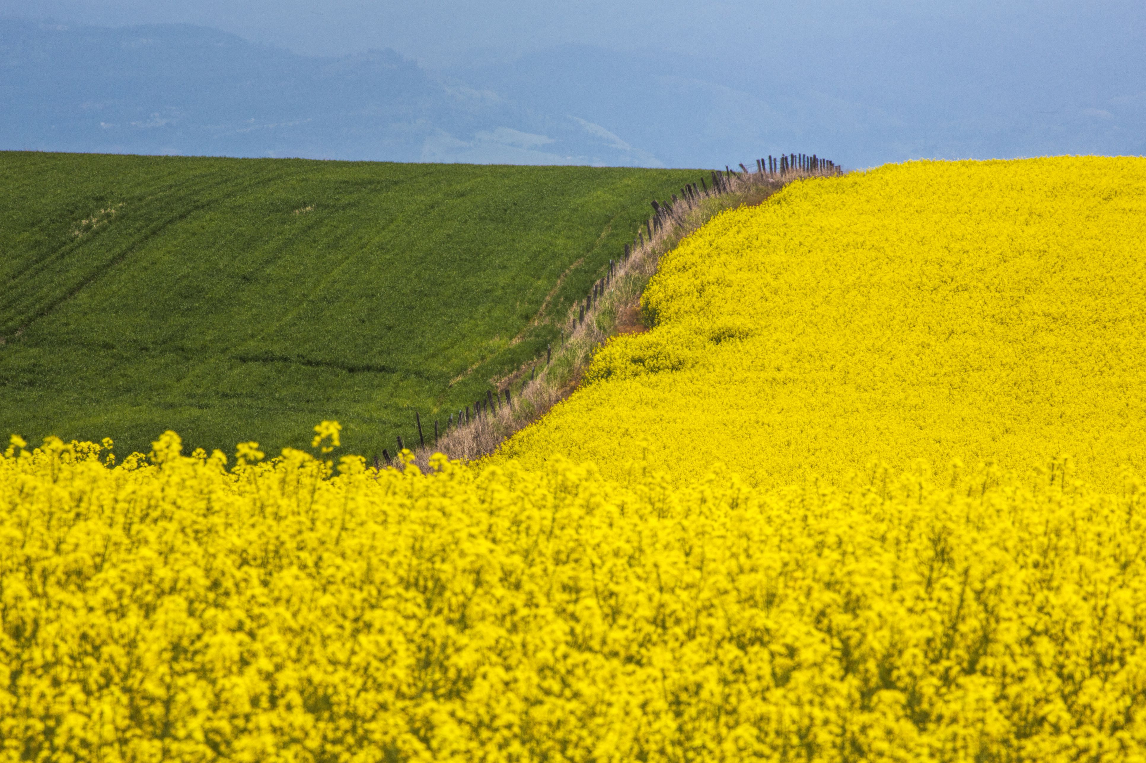 Canola Field in Full Fresh Bloom Along fence, Grangeville, Idaho, USA