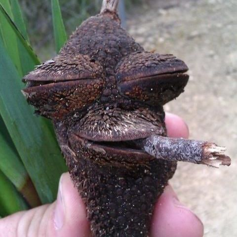 stoned root