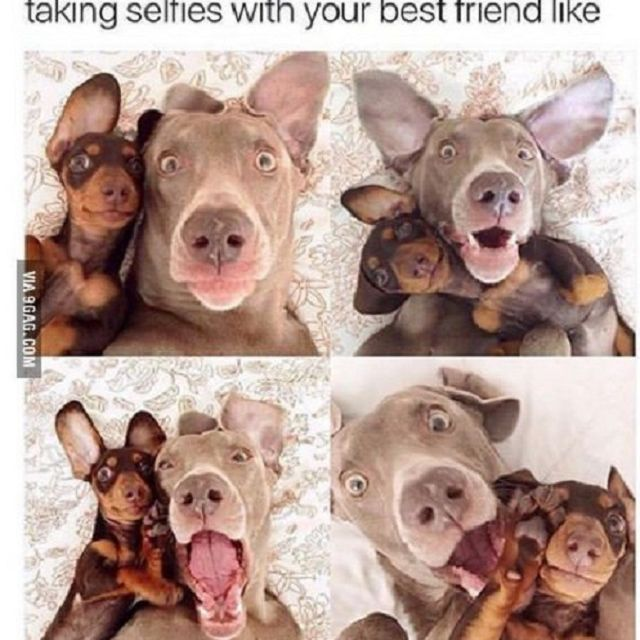 Two dogs in four different images with text: taking selfies with your best friend like