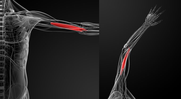 Medical illustration of the brachialis arm muscle